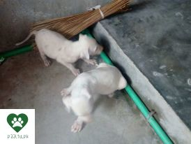 Paaltupk Pakistan 1 Pets Portal